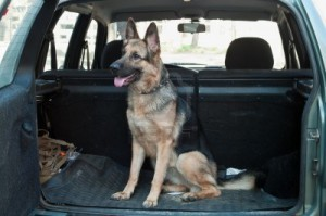 7682656-alsatian-dog-in-back-seat-of-car-pet-transportation
