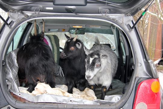 goat-car
