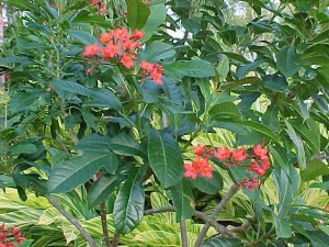 The Jatropha bush.