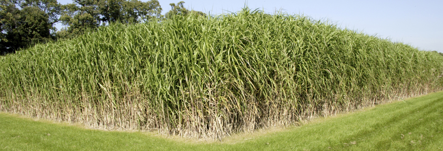 MIscanthus_Formatted